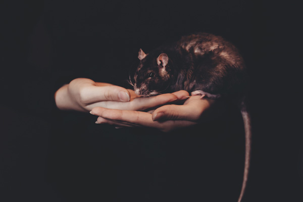 Ratte auf Händen, Photo by freestocks.org on Unsplash